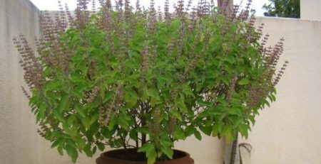 Tulsi plant in Hinduism