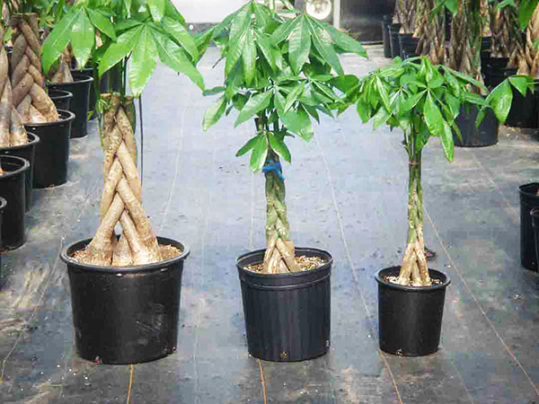 Plants that bring prosperity